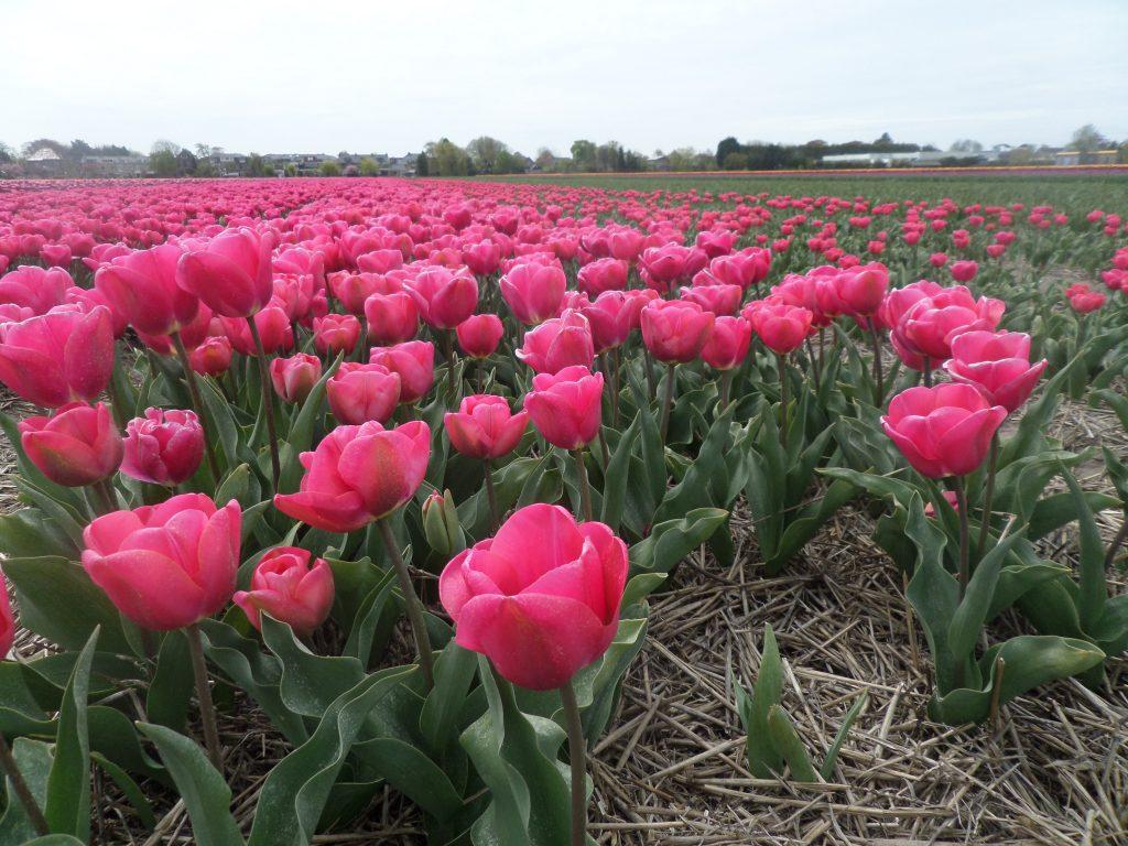 Тюльпанные поля возле Амстердама