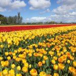 Кекенхоф 2018, Нидерланды, парк цветов
