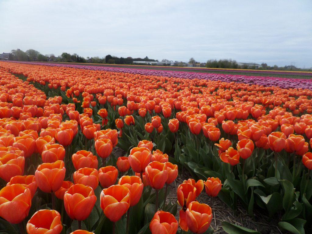 Когда цветут поля тюльпанов в Голландии?