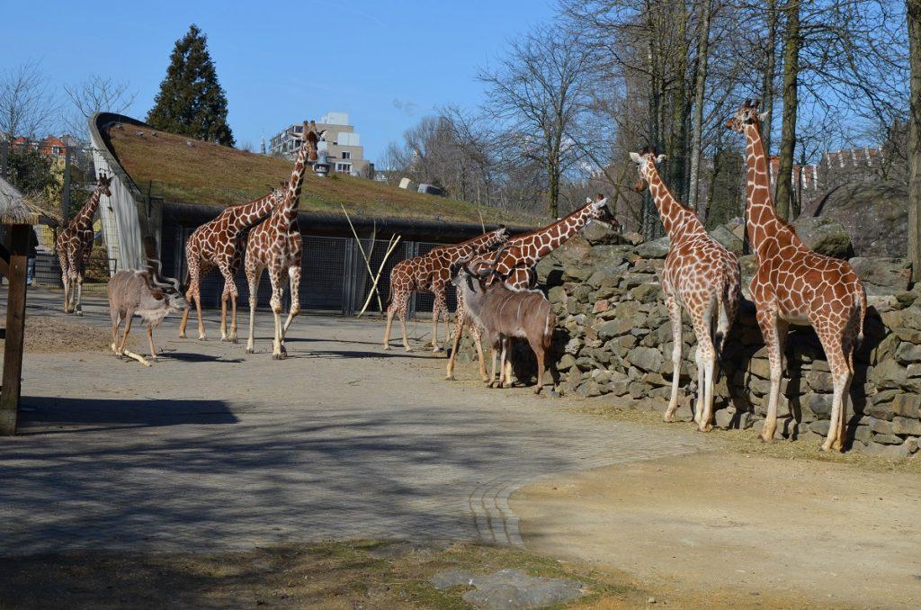 Жирафы в зоопарке Амстердама