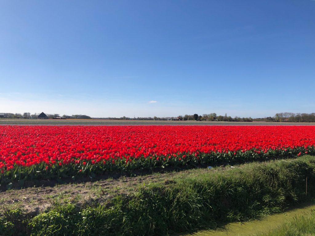 Когда цветут поля тюльпанов в Нидерландах?